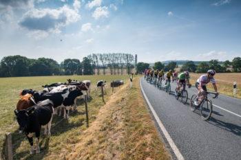 Radprofis fahren an einer Kuhherde vorbei. | Deutschland Tour. Foto: © GFR Marcel Hilger